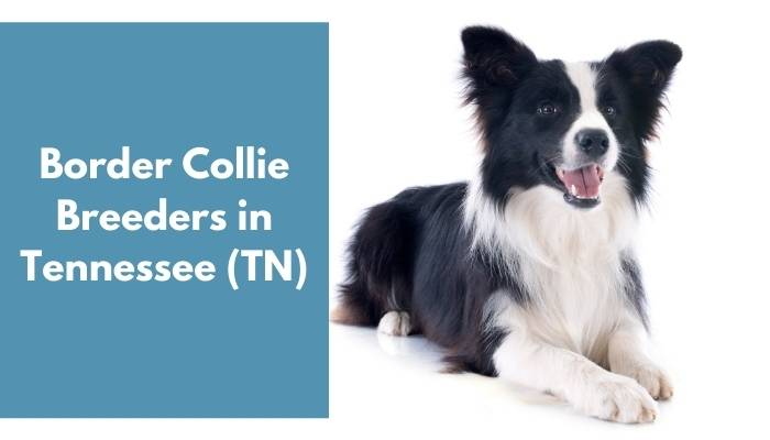 Border Collie Breeders in Tennessee TN