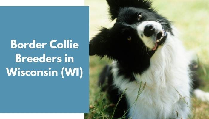 Border Collie Breeders in Wisconsin WI