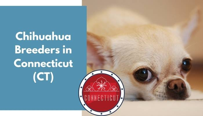 Chihuahua Breeders in Connecticut CT