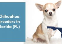 13 Chihuahua Breeders in Florida (FL) | Chihuahua Puppies for Sale