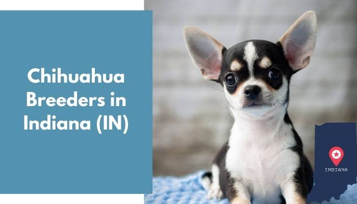 Chihuahua Breeders in Indiana IN