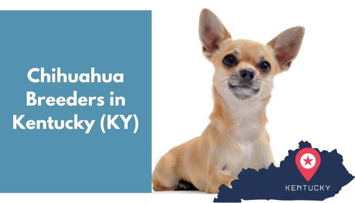 Chihuahua Breeders in Kentucky KY