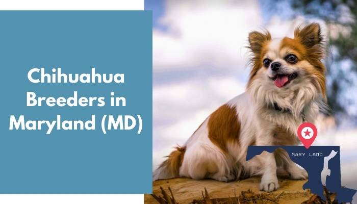 Chihuahua Breeders in Maryland MD