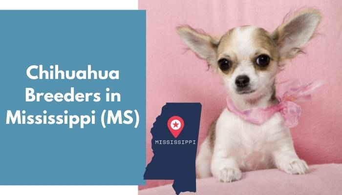 Chihuahua Breeders in Mississippi MS