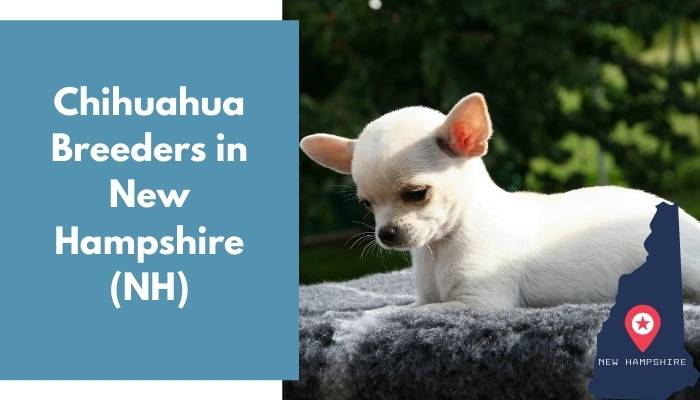 Chihuahua Breeders in New Hampshire NH