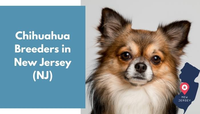 Chihuahua Breeders in New Jersey NJ