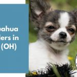 Chihuahua Breeders in Ohio OH