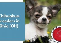 4 Chihuahua Breeders in Ohio (OH) | Chihuahua Puppies for Sale