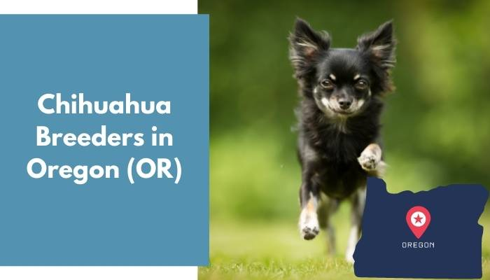 Chihuahua Breeders in Oregon OR