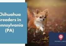 13 Chihuahua Breeders in Pennsylvania (PA) | Chihuahua Puppies for Sale