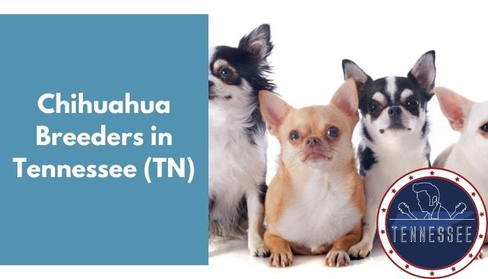 Chihuahua Breeders in Tennessee TN