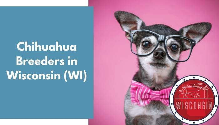 Chihuahua Breeders in Wisconsin WI
