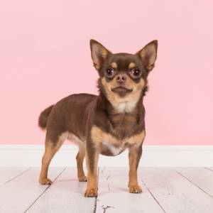 Chihuahua breeders category