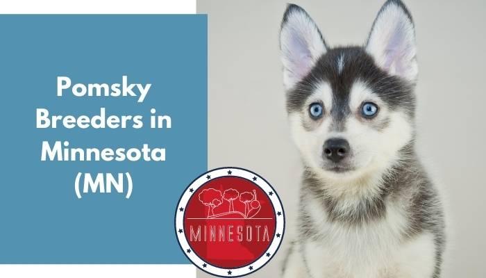 Pomsky Breeders in Minnesota MN