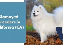 15 Samoyed Breeders in California (CA) | Samoyed Puppies for Sale