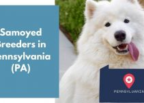11 Samoyed Breeders in Pennsylvania (PA) | Samoyed Puppies for Sale